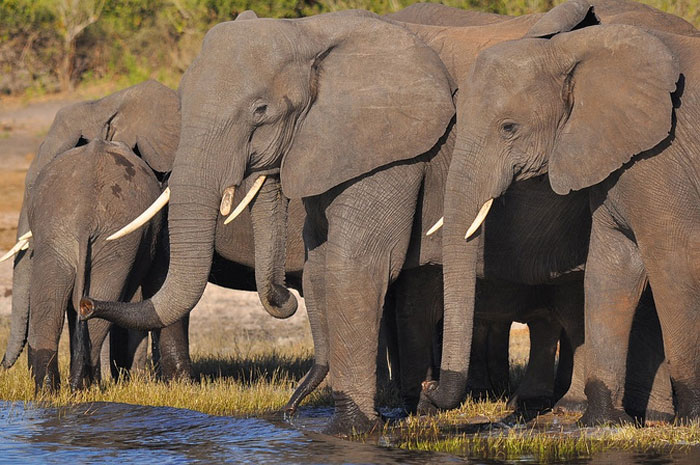 African savannah elephants drinking at a waterhole web