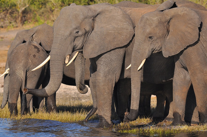 African savannah elephants drinking at a waterhole