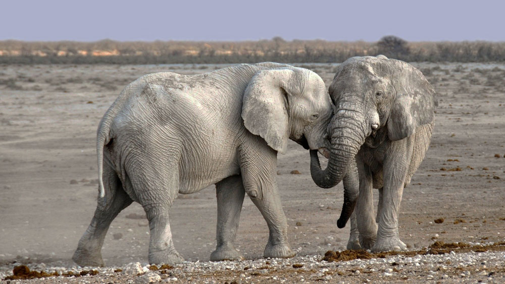 elephants trunks photo credit CC0 Public Domain